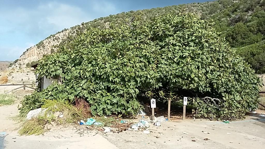 Duftolivenbaum