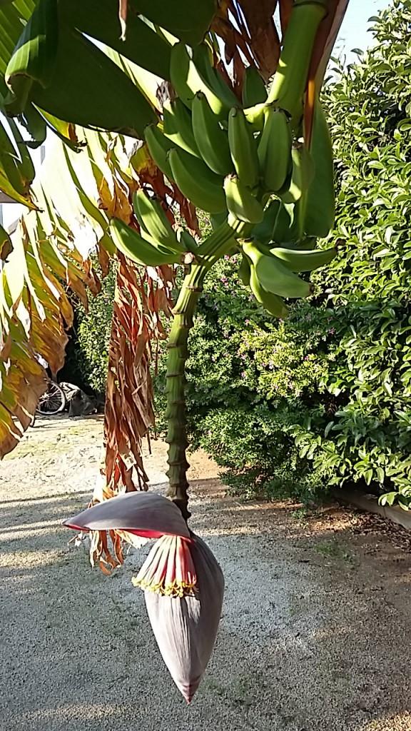 Bananenstaude Punta Braccetto