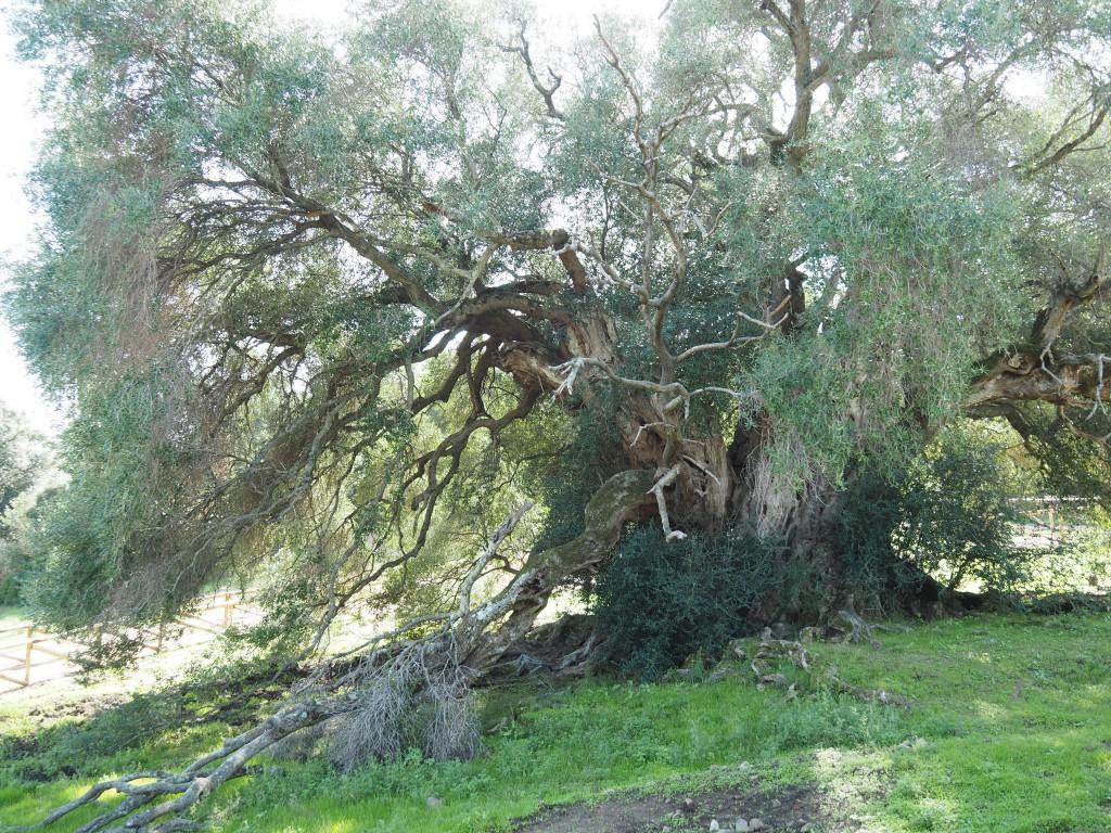 älteste Olivenbäume