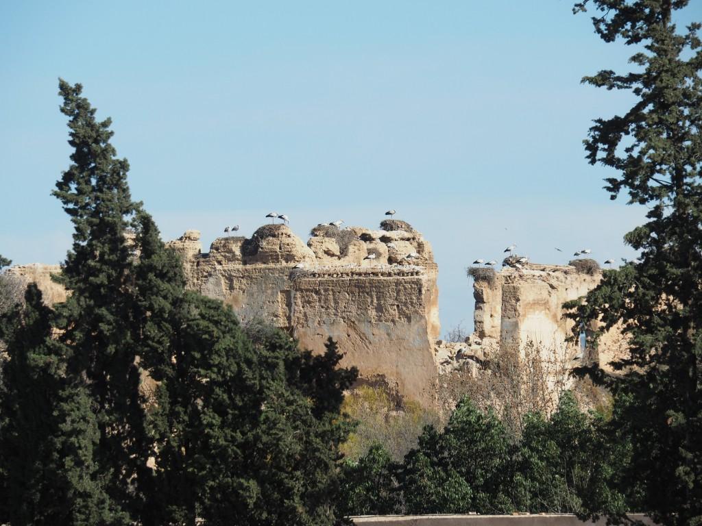 Störche Palastmauer Meknes