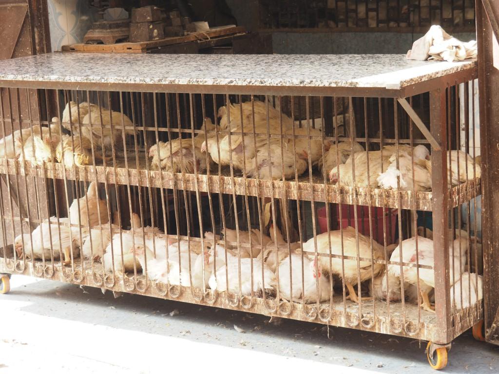 Hysterisch kreischende Hühner wechseln die Besitzer