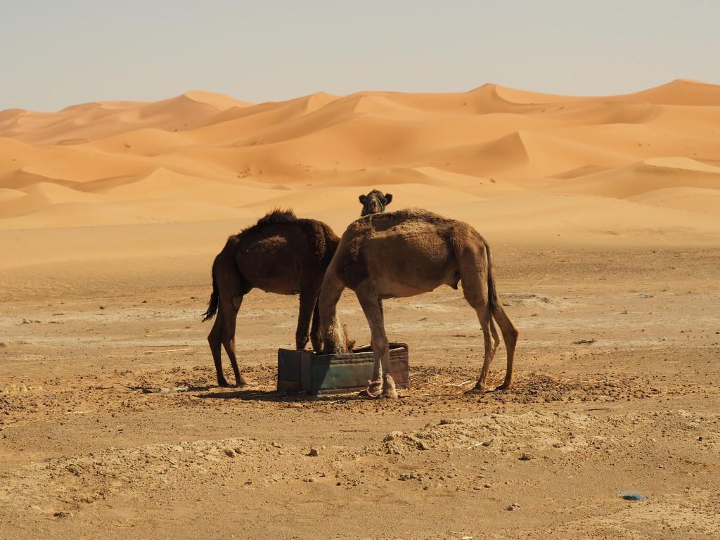 Dromedare auf unserer Wüstentour