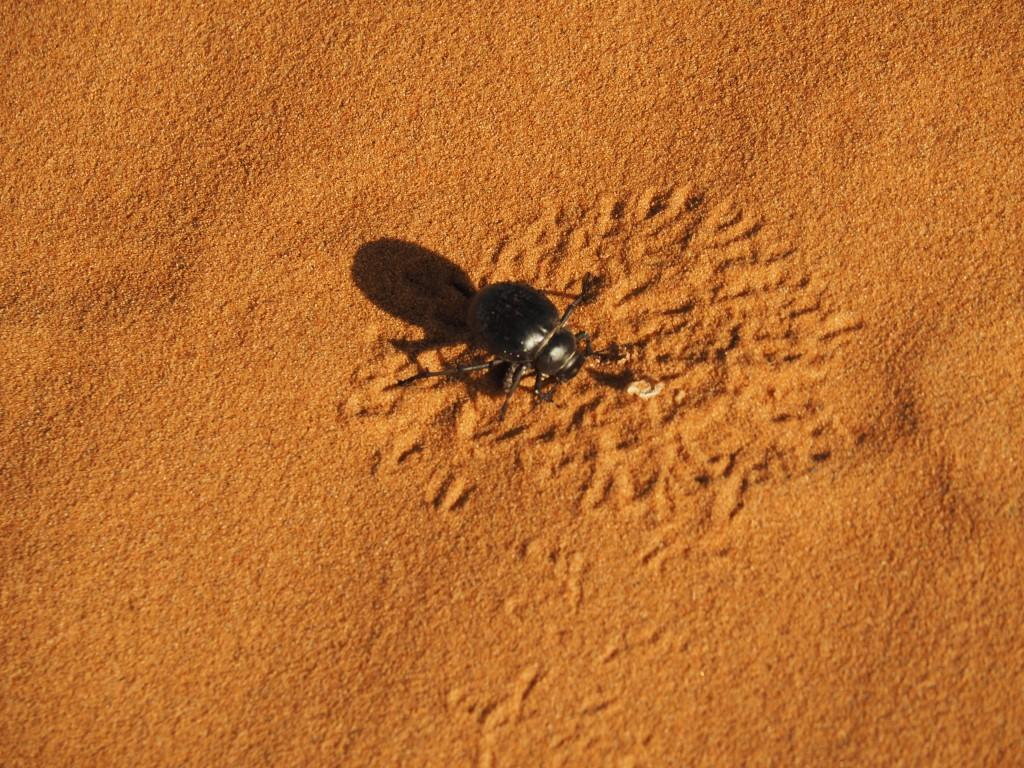 Wüstenkäfer