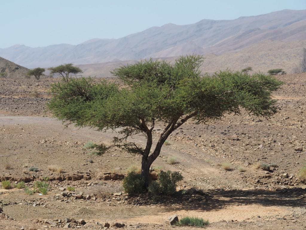 Arganienbaum am Weg