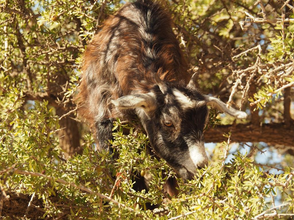 Ziegen lieben Arganblätter und -nüsse