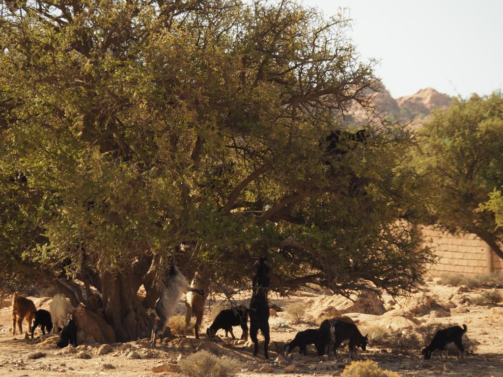 Arganbaum mit Ziegen
