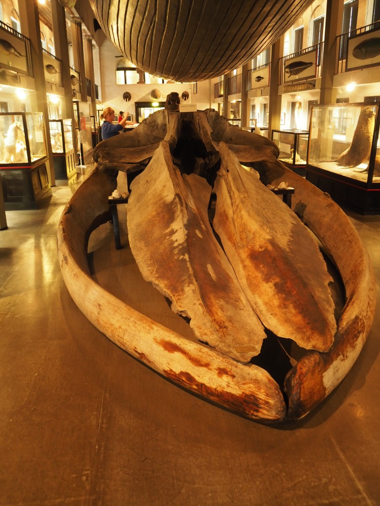 Blauwalskelett - Modell eines Blauwales in Originalgröße