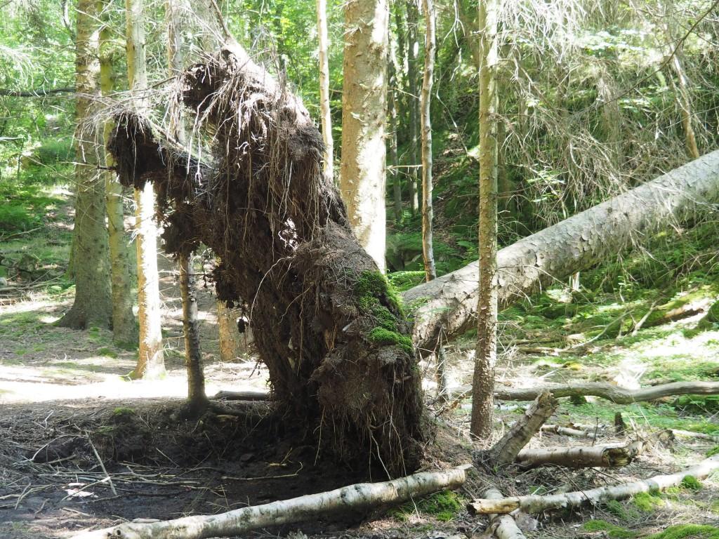 Da wussten wir noch nichts vom Fall unseres mind. 40 Jahre alten Nussbaumes